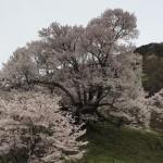 佛隆寺千年桜